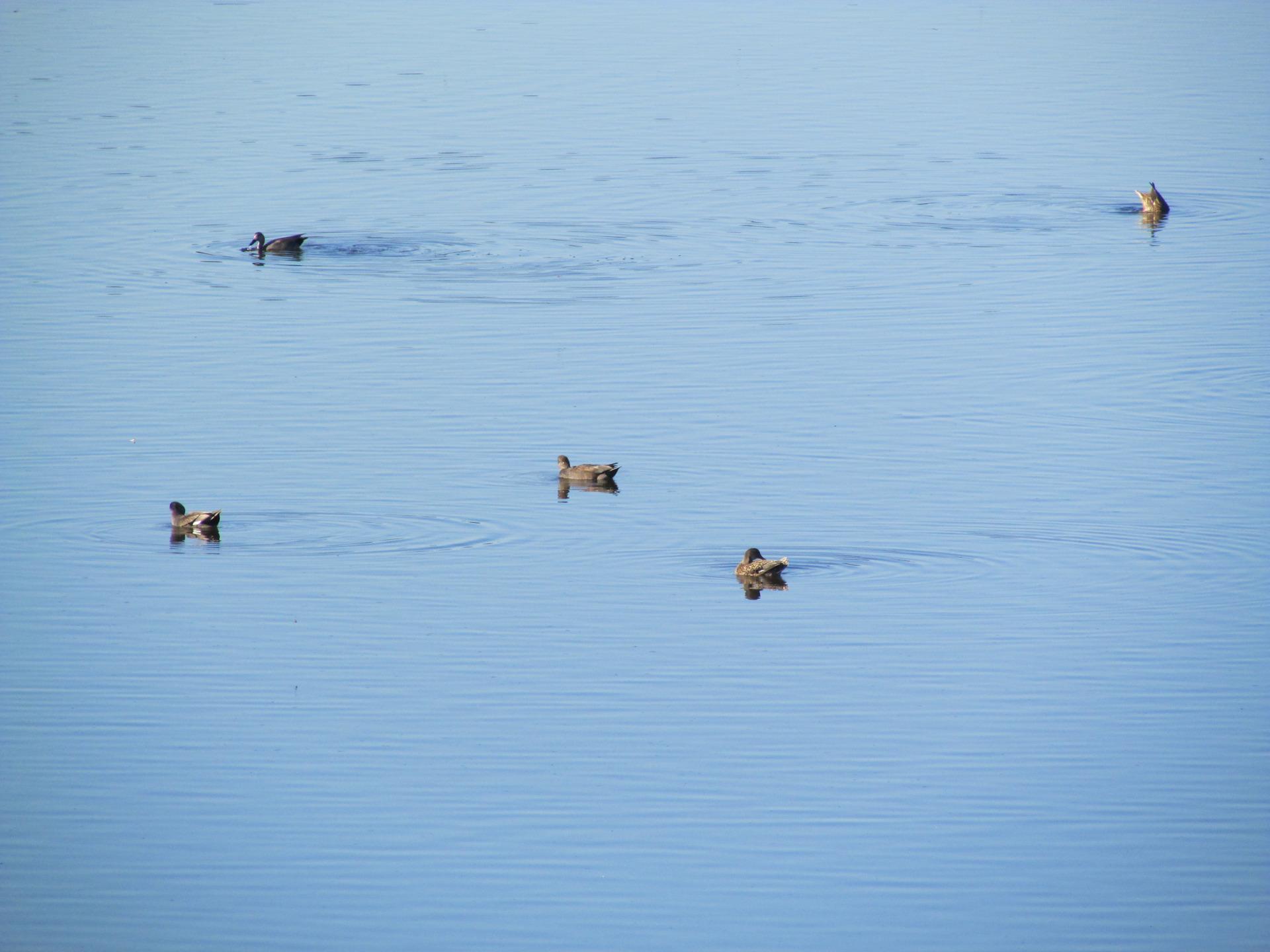 Patos en la Laguna de El Portil